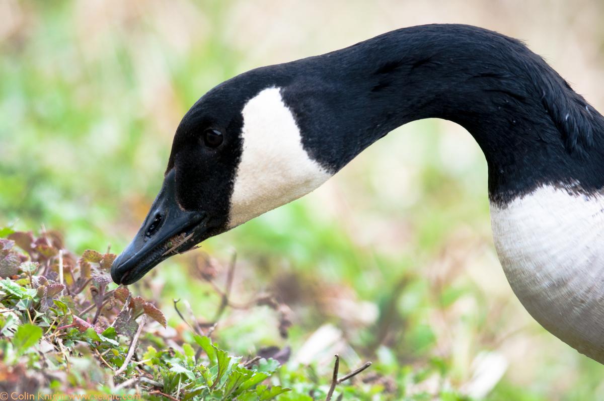 Black Bellied Whistling Duck Nest Box
