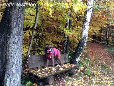 Boxer Amy auf der Bank im Wald