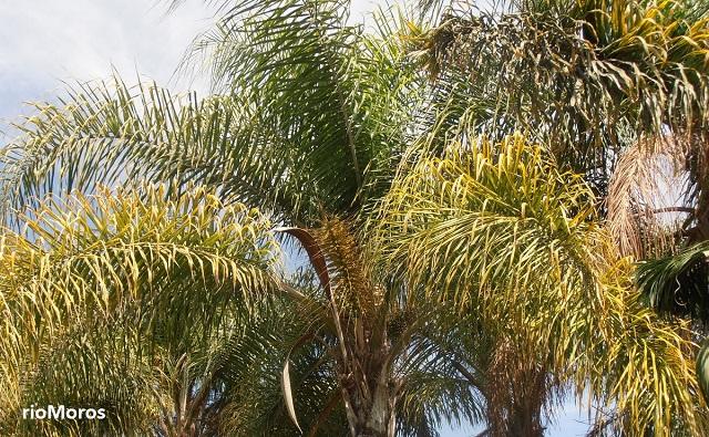 Tipos de palmeras o palmas