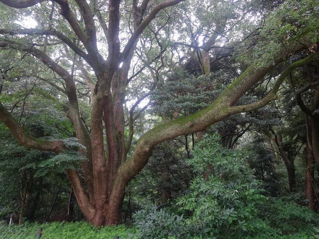 樹木,森林,明治神宮〈著作権フリー無料画像〉Free Stock Photos