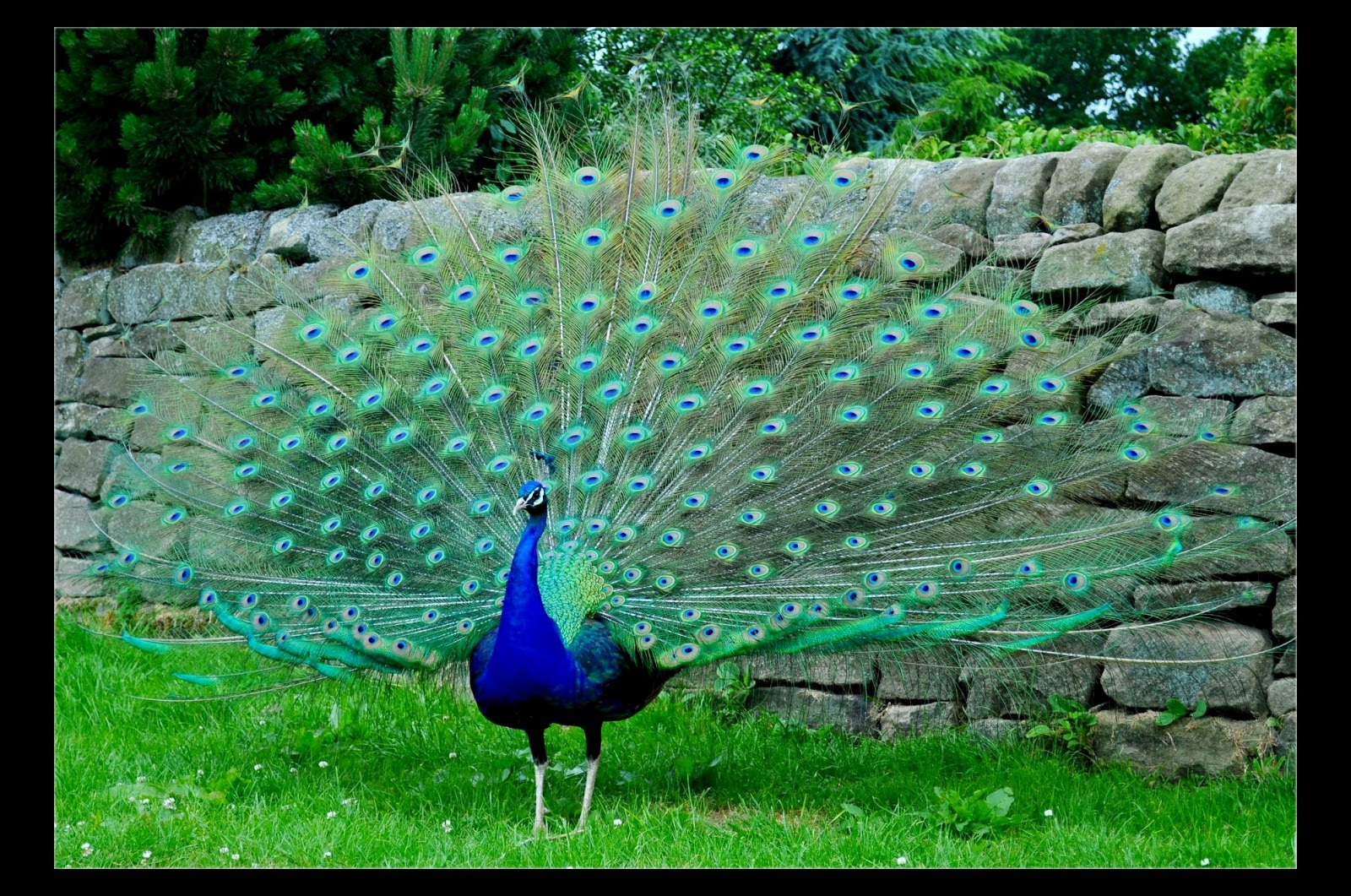 peacock images pictures wallpaper photos download times2tech
