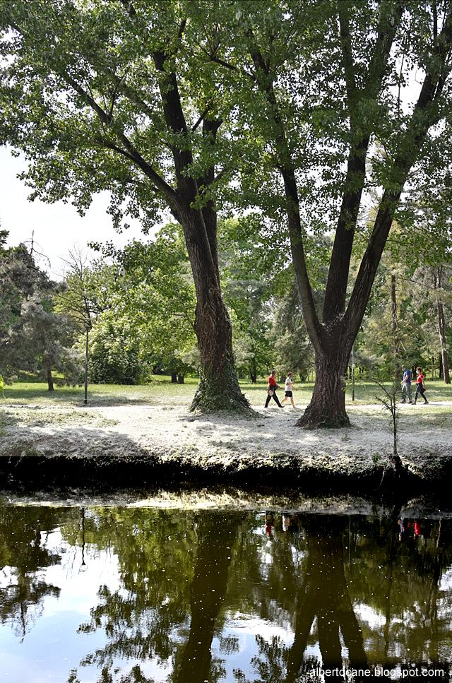 Milano fiori di pioppi al Parco Lambro