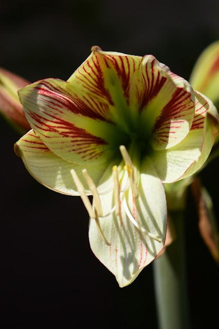 hippeastrum, ambiance, amaryllis,  spring bulbs, desert garden, small sunny garden, photography, amy myers