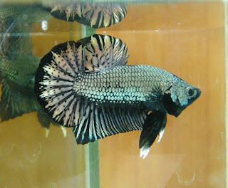 6 jenis ikan cupang (betta fish) cantik dan unik | KASKUS