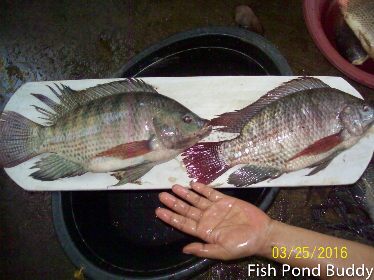 Fish pond buddy how to clean and make sun dried tilapia for How to clean a fish pond