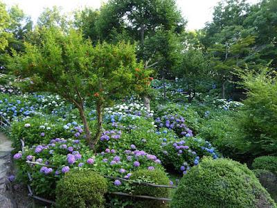 山田池公園のあじさい園 ザクロの樹