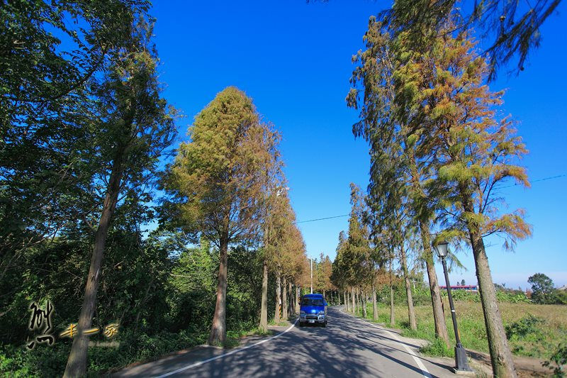 [桃園大溪石園路秘境] 落羽松大道|石園路落羽松