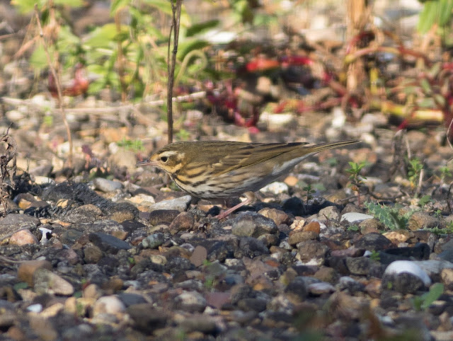 Olive-backed Pipit - Easington, Yorkshire