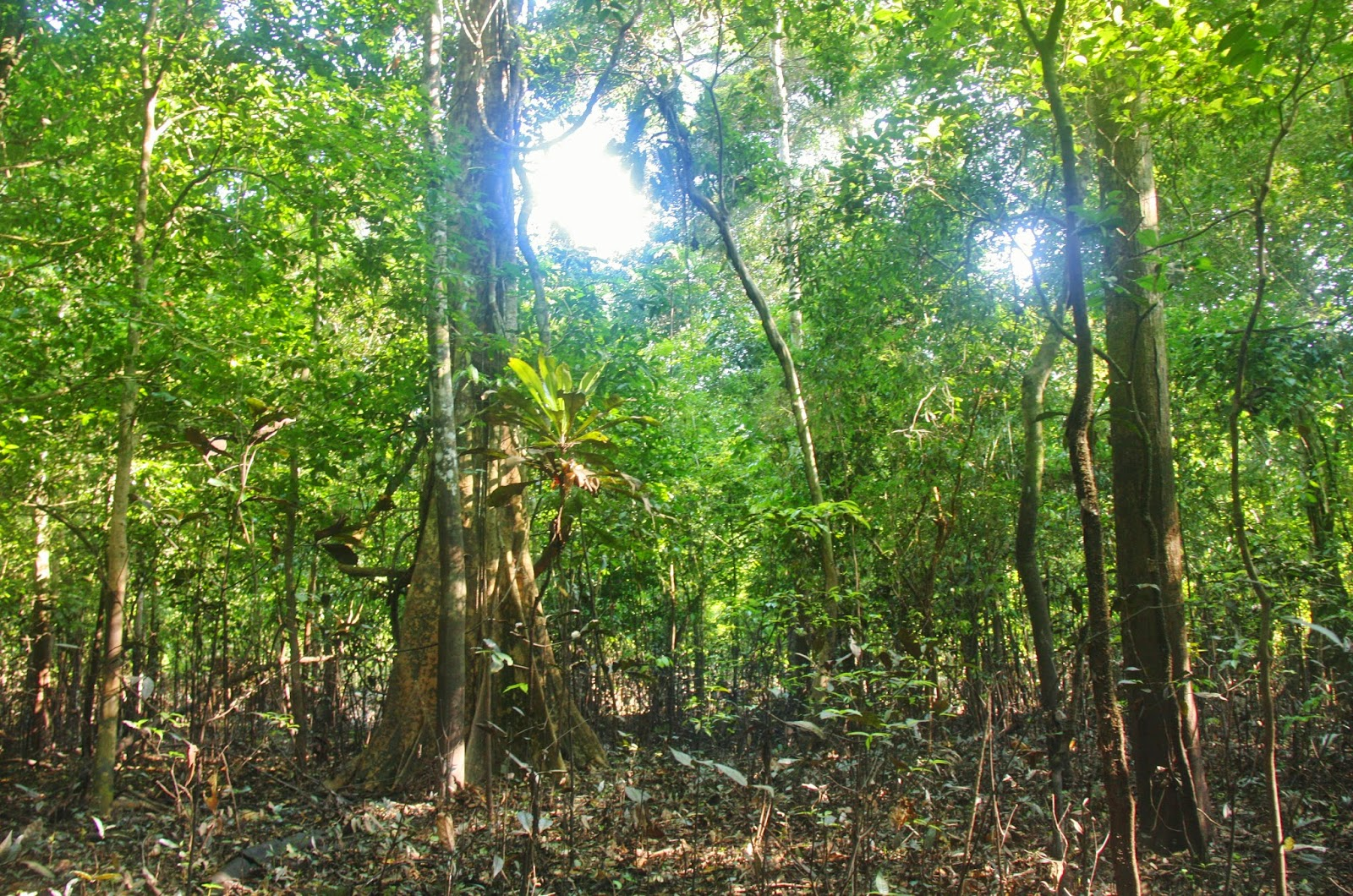 A floresta amazônica na Reserva Sustentável Mamirauá