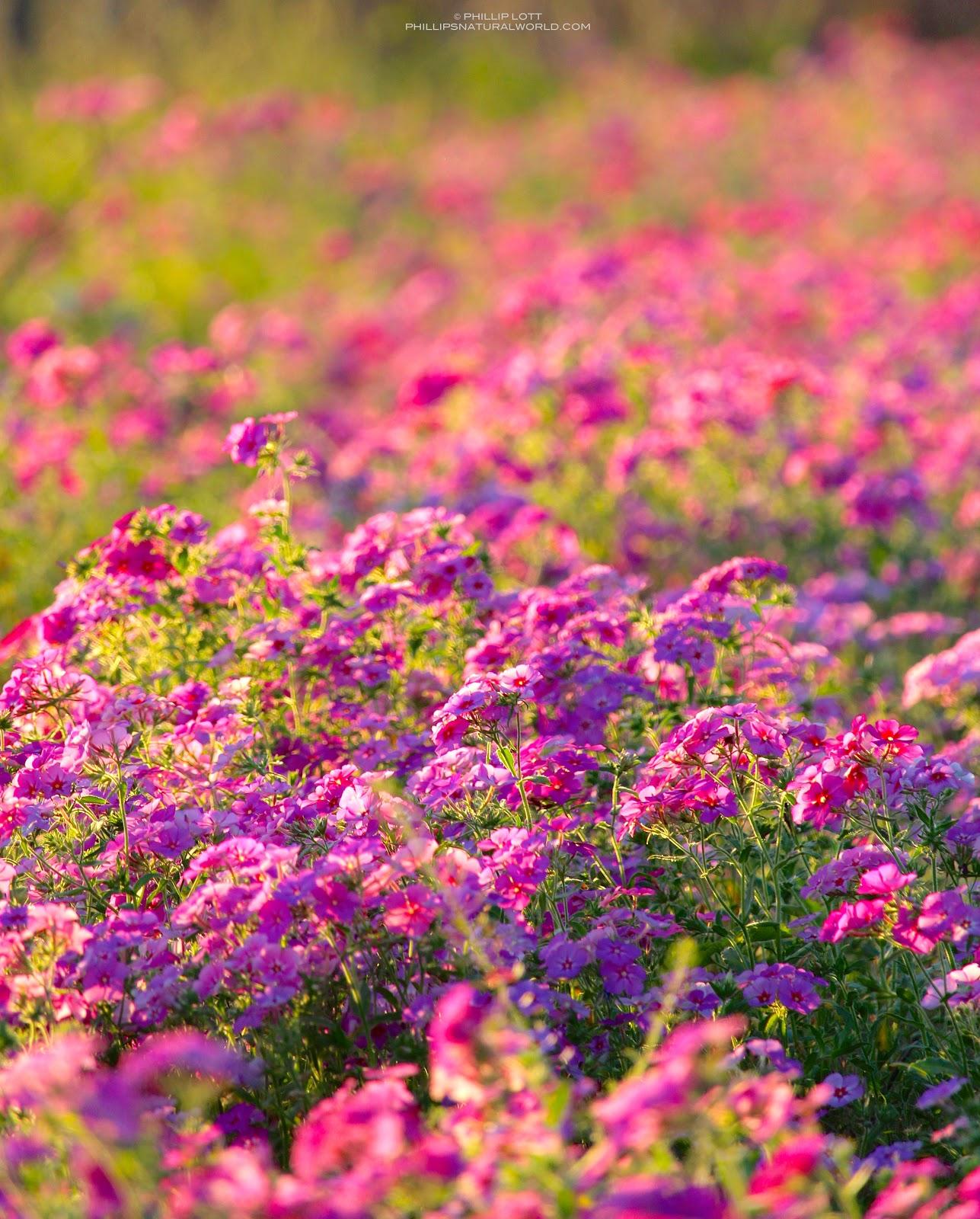 Wildflower Superbloom: Florida Phlox   Phillip\'s Natural World