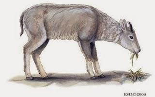 Goral gris