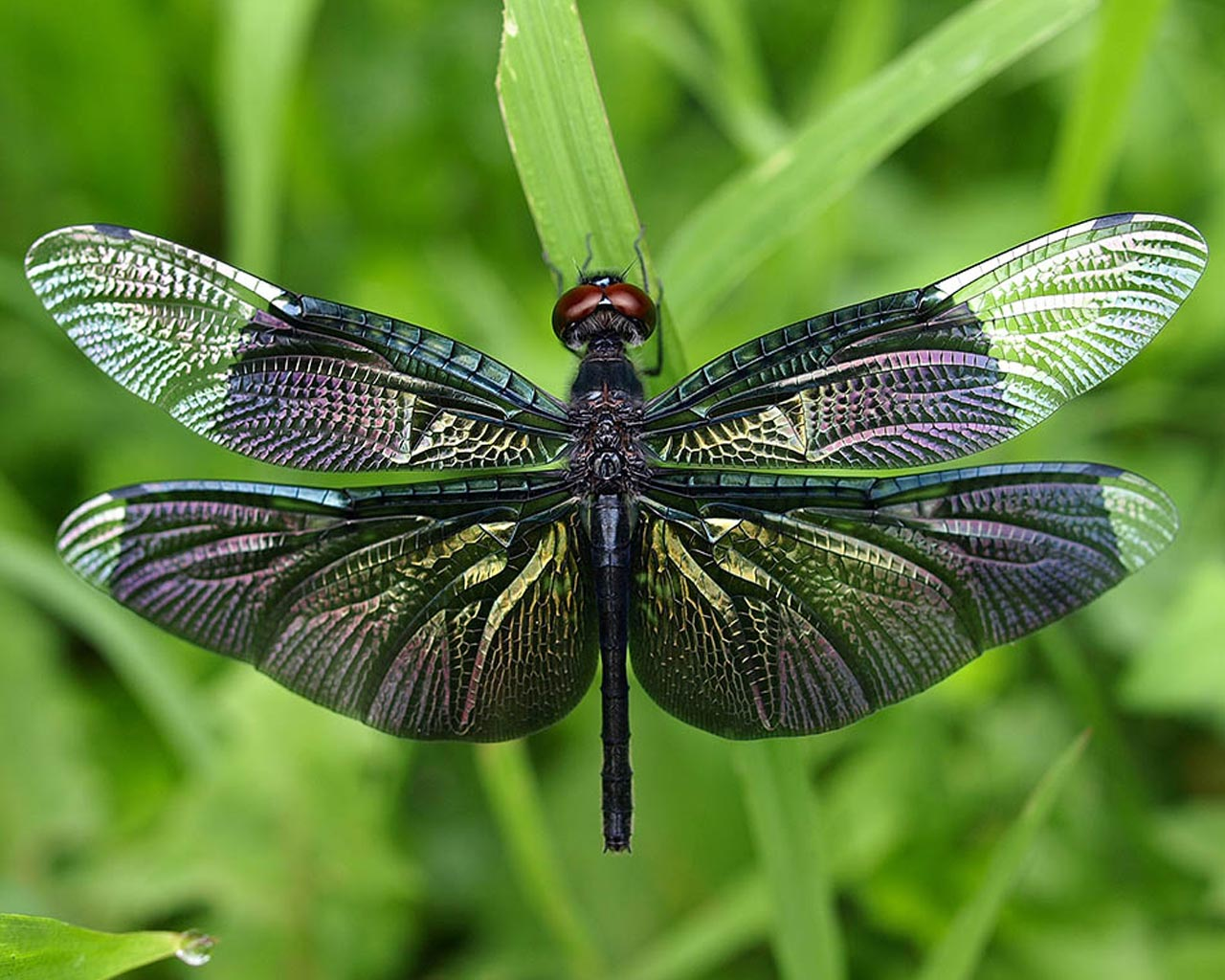 Iridescent dragonfly stock photo. Image of wings ... |Iridescent Dragonflies
