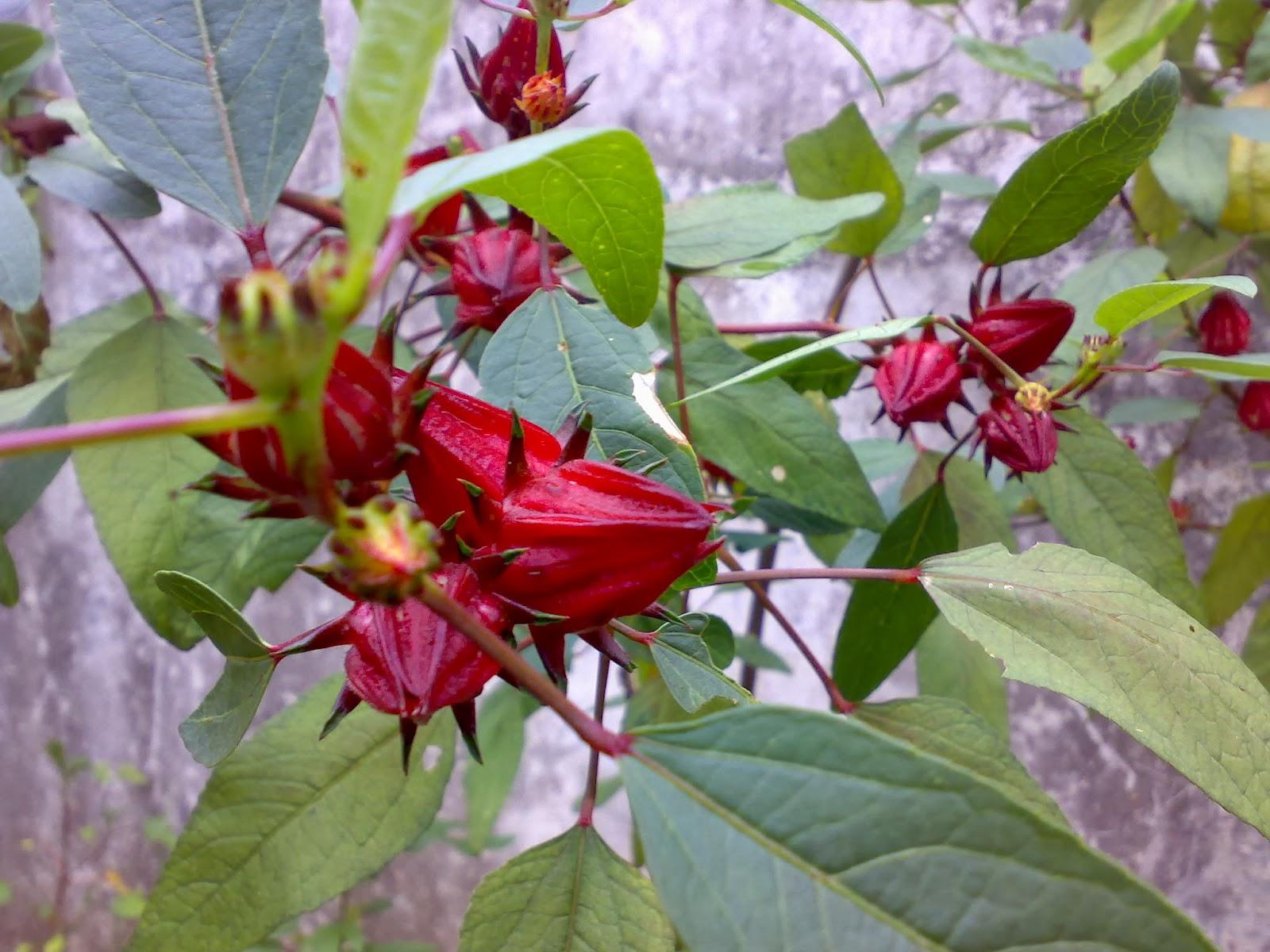 Manfaat Teh Rosella Merah Untuk Diet