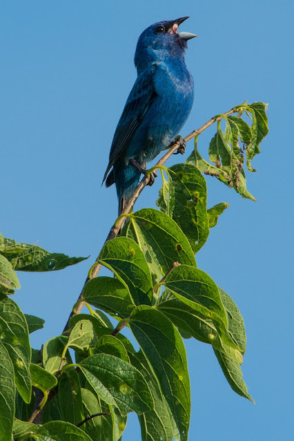 Indigo Bunting, Cross Timbers Trail