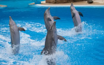Wallpaper: Dolphins