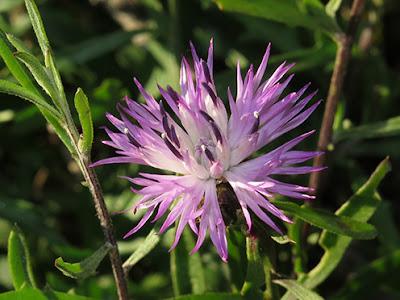Flor morada del cártamo silvestre (Centaurea jacea)
