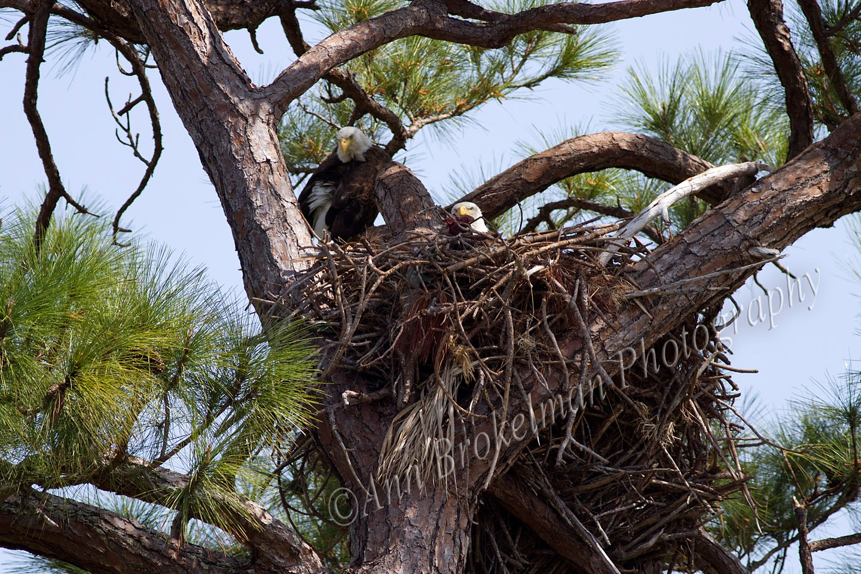 Ann Brokelman Photography: Bald Eagle Nest - Florida