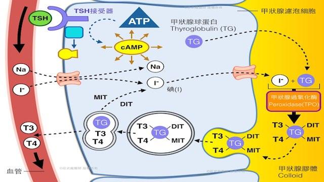 甲狀腺製造甲狀腺素的機轉