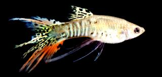 Jenis penyaki ikan guppy dan cara mengobatinya secara mudah dan benar