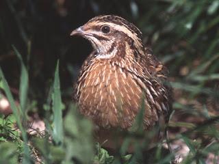 aves de los bosques comestibles