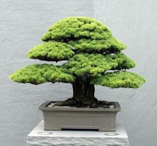 hacer bonsai