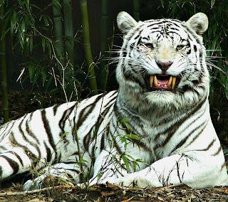 Tigre blanco enojado o riendo