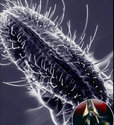I palpi mascellari della mosca. La bocca di questo insetto è un esempio estremo di adattamento del corpo al tipo di alimentazione. Questi insetti infatti si cibano di sostanze zuccherine più o meno cristallizzate sparse su una superficie che aspirano mediante la proboscide a forma di ventosa.