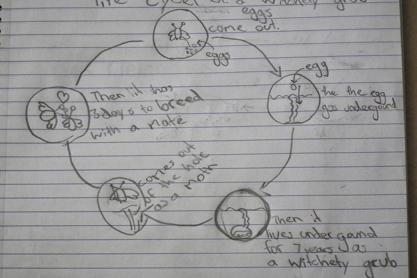 panda life cycle diagram hei distributor wiring ford of a wallaby wolverine elsavadorla