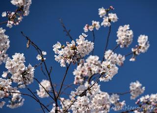 釜山沙上櫻花