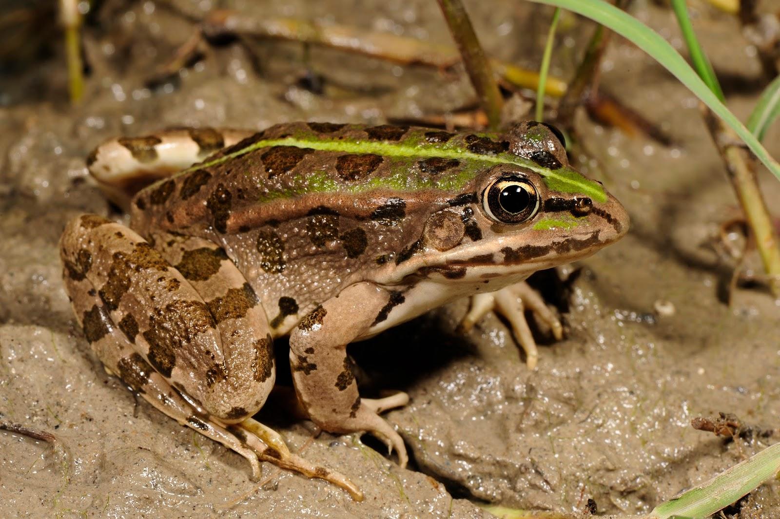 Amphibians: Benny Trapp Epirusfrosch Pelophylax epeiroticus