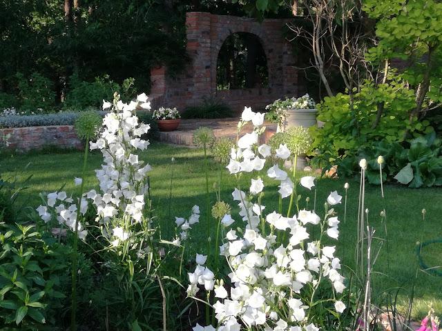 dzwonek brzoskwiniolistny White