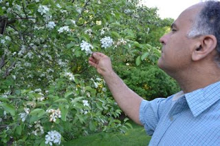 Man inspects fruit tree blossoms