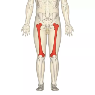The longest bone of the body is called femur
