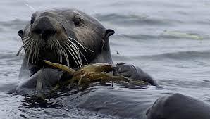 Geralmente, a lontra tem hábitos noturnos, dormindo de dia na margem do rio e acordando de noite para buscar alimento. Os grupos sociais são formados pelas fêmeas e pelos seus filhotes. Os machos não vivem em grupos e só se juntam a uma fêmea na época de acasalamento. O período de gestação da lontra é de cerca de 2 meses, produzindo de um a cinco filhotes.