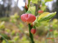 Fleur de myrtillier