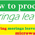 How to process moringa leaves: drying moringa leaves in microwave