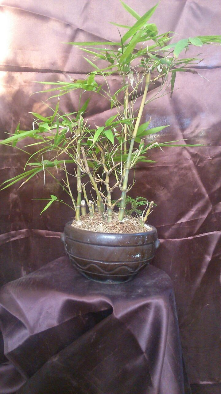 Bamboo cluster bonsai plant