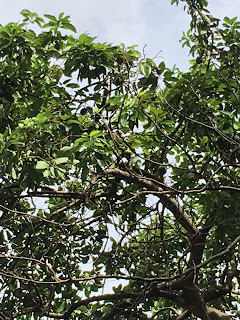 Avocado Tree in Singapore
