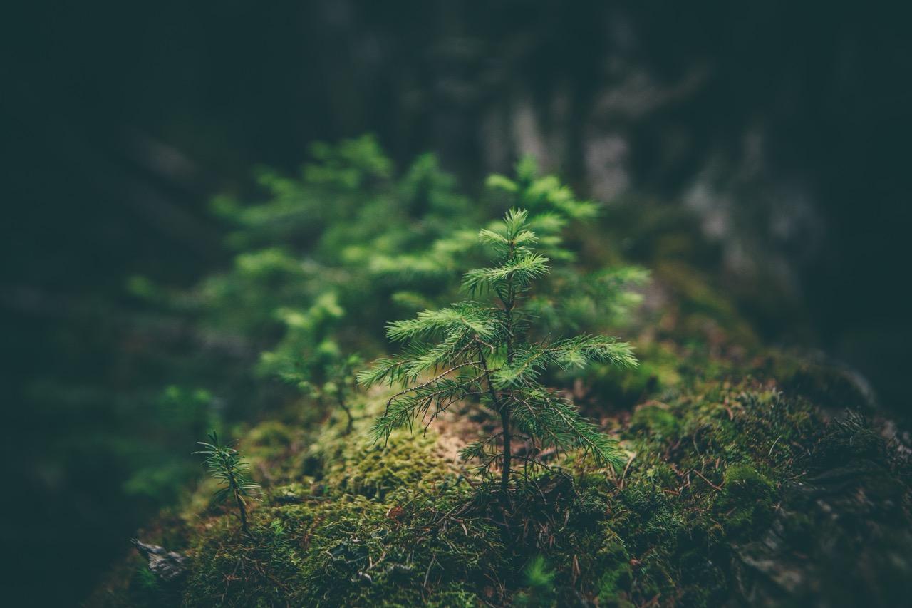 sofieadie, pohon, kecil