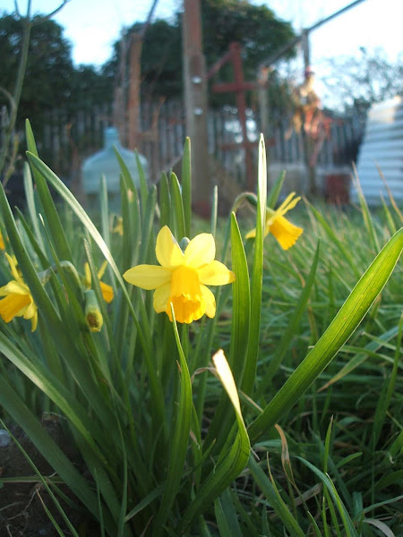 yellow daffodils grow in the sunshine on our allotment
