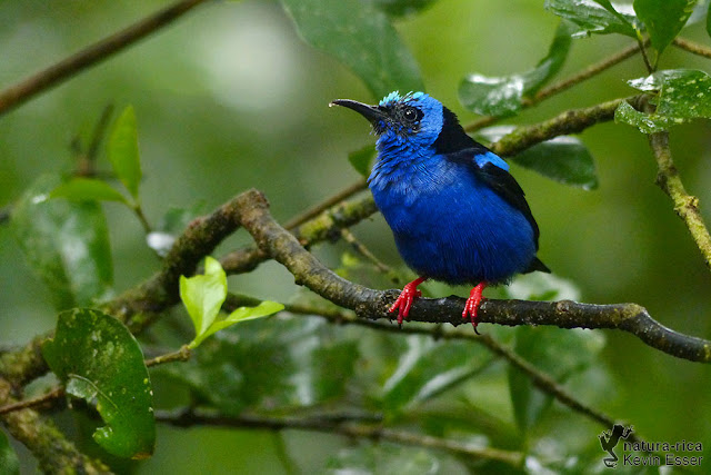 Red-legged Honeycreeper - Cyanerpes cyaneus ♂