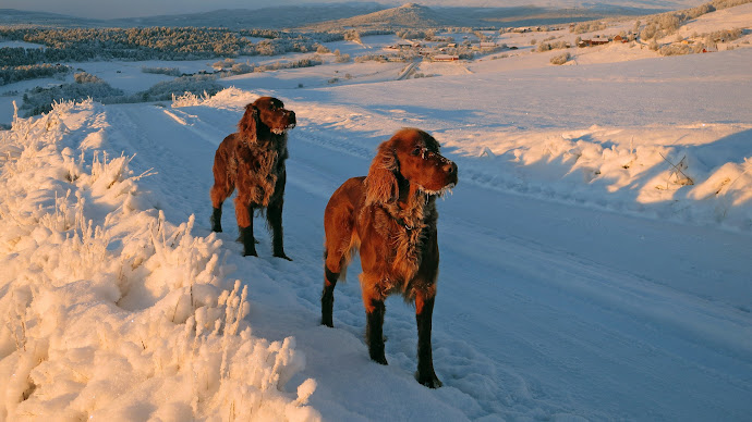 Wallpaper: Dogs in the Norway Winter Landscape