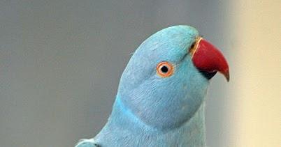 Norwegian Blue Parrot Photos Mart