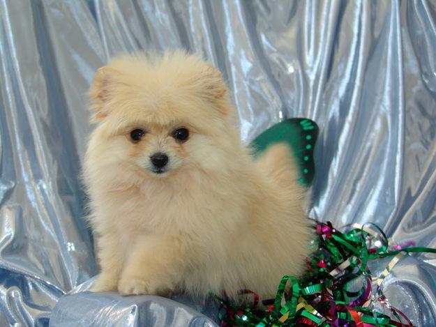 Cute Dogs Pomeranian Teacup Puppies
