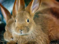 Tips Ternak Kelinci