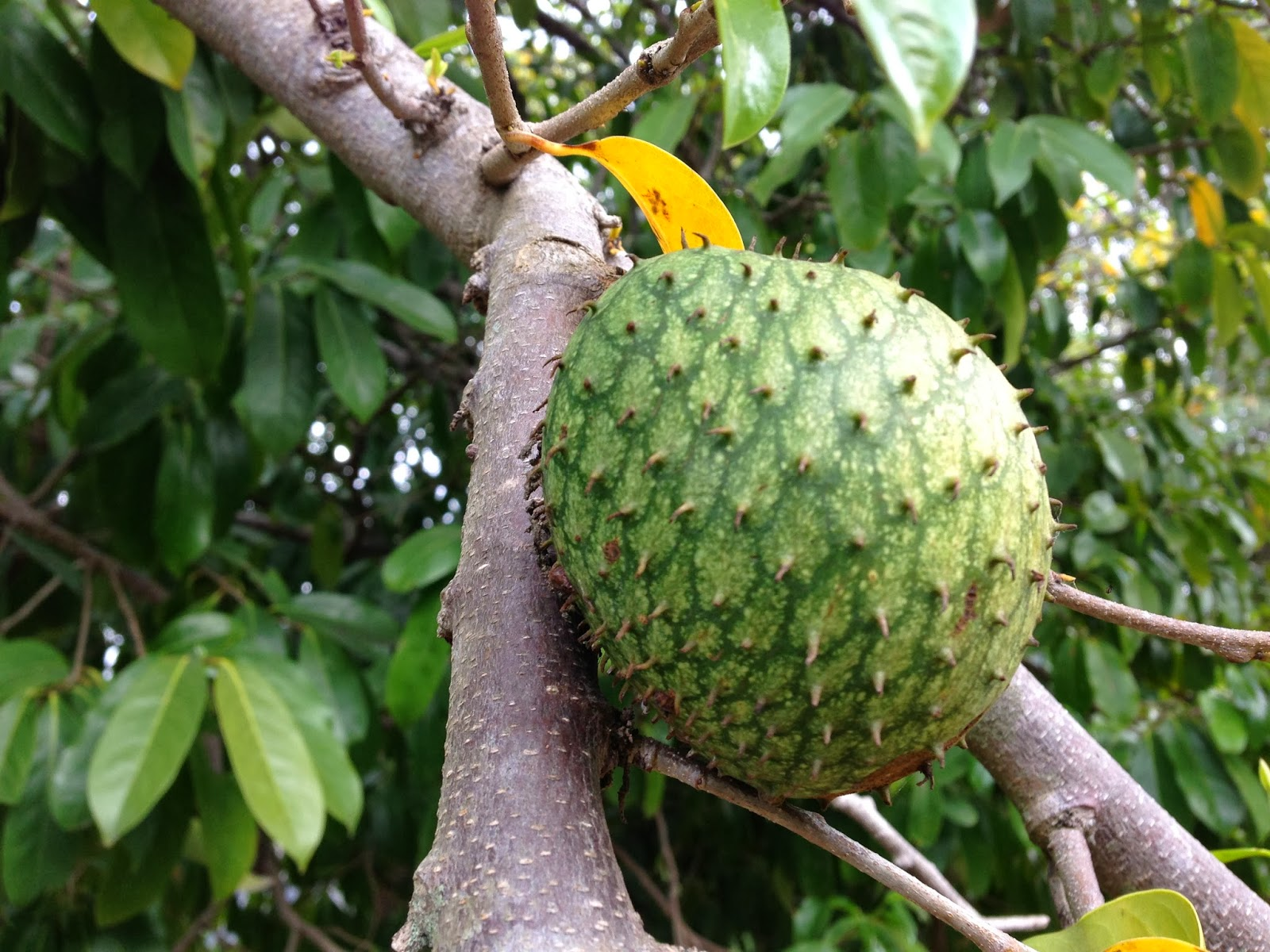 Soursop - Wikipedia  |Guyabano Tree