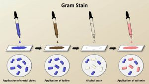 Cara MENGKLASIFIKASIKAN BAKTERI,Gram Stain Pada Bakteri