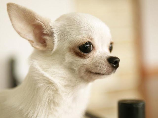 Bệnh giun ở mắt chó