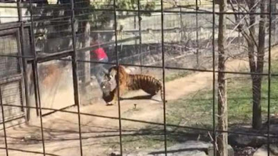 Tiger tries to jump over the woman who tries to retrieve her hat
