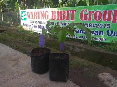 Bibit Durian Bawor Unggul